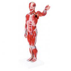 Figura Muscular Assexuada 78 cm com Órgãos Internos