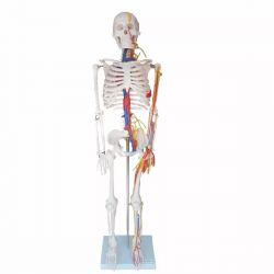 Esqueleto 85 cm com Nervos e Vasos Sanguíneos