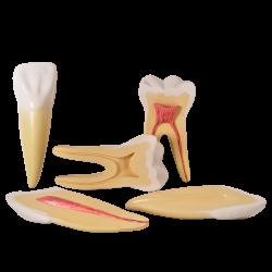 Dentes Ampliados - Canino, Incisivo e Molar