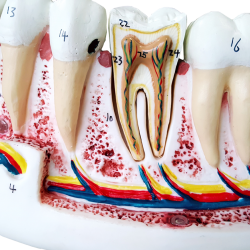 Anatomia do Dente com 6 Partes