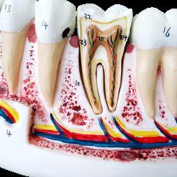 Anatomia do Dente com 6 Partes