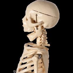Esqueleto Humano 85 cm.