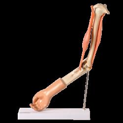 Braço com Músculo Articulado