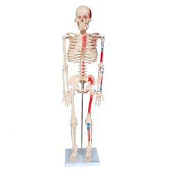 Esqueleto de 85 cm, Articulado com Inserções Musculares c/Base
