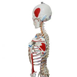 Esqueleto Articulado 168 cm c/ Inserções Musculares Suporte e Base com Rodas